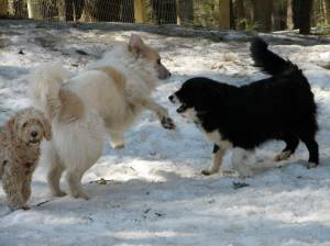 Play time with other dogs can be a perk at a boarding facility.