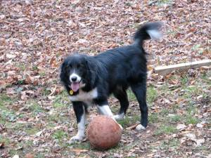 black & white dog with front paw on a basketball