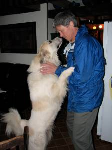 large white dog standing on hind legs and sniffing nose of a man