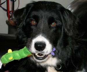 dog with stuffed catepillar in his mouth
