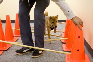 shiba inu dog on caveletti course