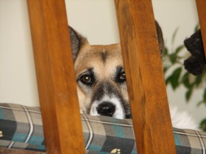 corgi mix dog looking between banister posts