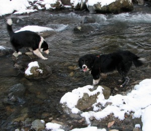 2 black & white dogs in a river