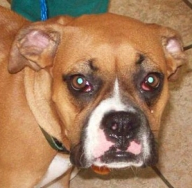 worried looking boxer dog