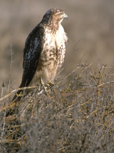 hawk perched on brush