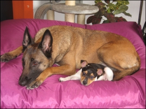 belgian malnois and terrier on pink bed