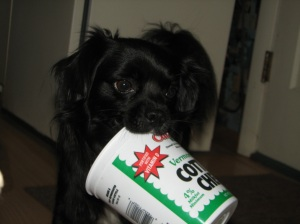 small black dog with cottage cheese container in his mouth