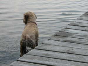 buff colored cocker spaniel in the water next to a pier
