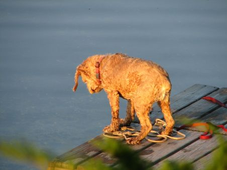 cocker spaniel standing on wooden dog looking down at water