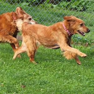 2 golden retrievers running