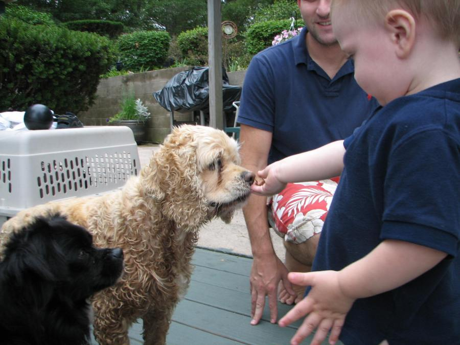 toddler feeding treats to a cocker spaniel and small black dog