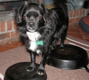 small black and white dog standing on cast iron pans