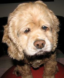 cocker spaniel with a worried face