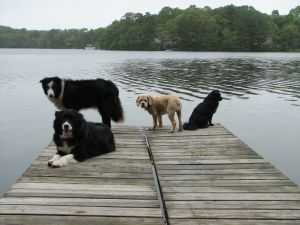 4 dogs sitting on the end of a pier with a lake in the background