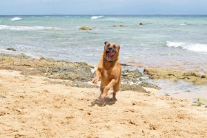 happy dog running on beach